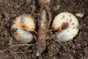 Scrub Out The Grubs Midwest Grows Green